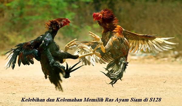 Kelebihan dan Kelemahan Memilih Ras Ayam Siam di S128